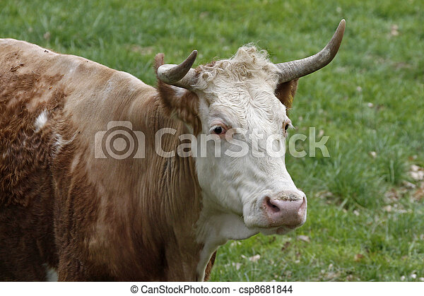 Cattle on a pasture in Germany - csp8681844