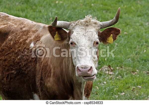 Cattle on a pasture in Germany - csp8534833