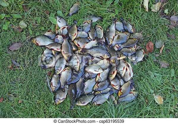 Caught crucians on green grass. Successful fishing. Fresh fish carp. - csp63195539