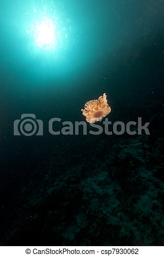 Cauliflower jellyfish in the Red Sea. - csp7930062