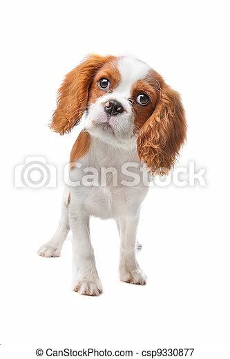 Cavalier King Charles Spaniel puppy - csp9330877