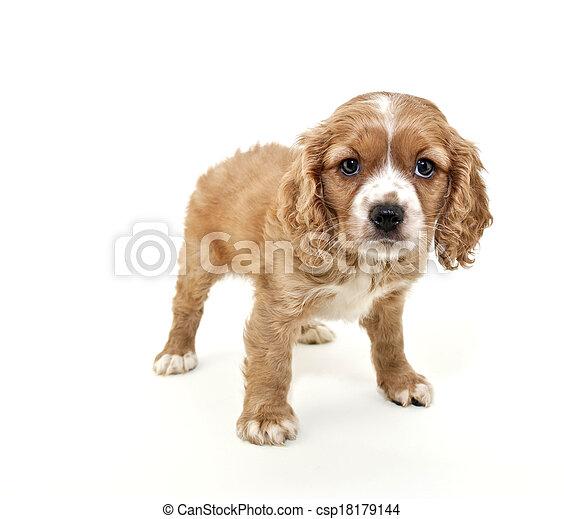 Cavalier King Charles Spaniel Puppy - csp18179144