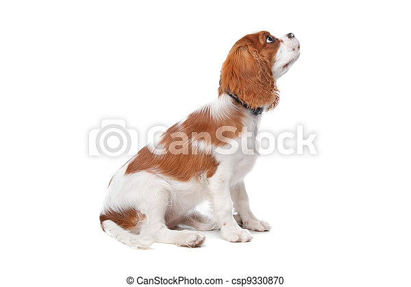 Cavalier King Charles Spaniel puppy - csp9330870