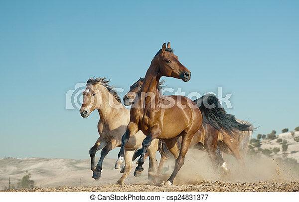 cavalli, selvatico, corsa - csp24831377