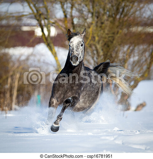 cavalo, árabe, inverno, gallops - csp16781951