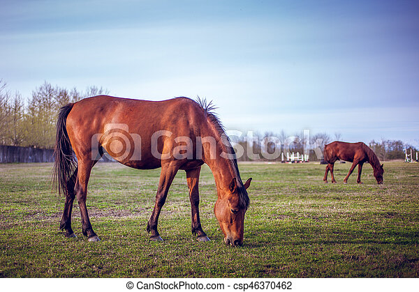 cavalo marrom, capim, racetrack, verde, território, pastar - csp46370462
