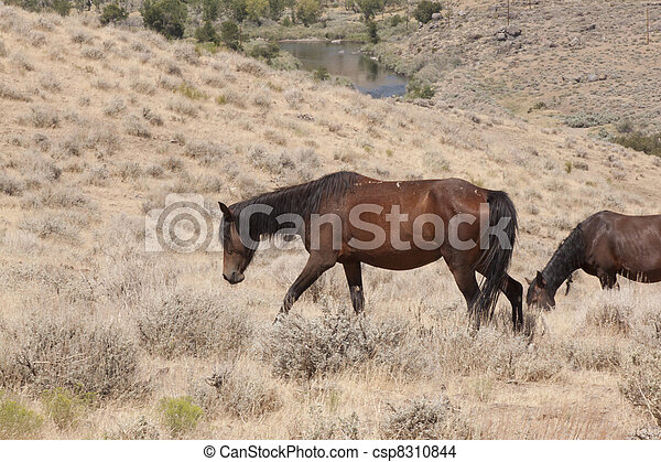 cavalos selvagens, nevada - csp8310844