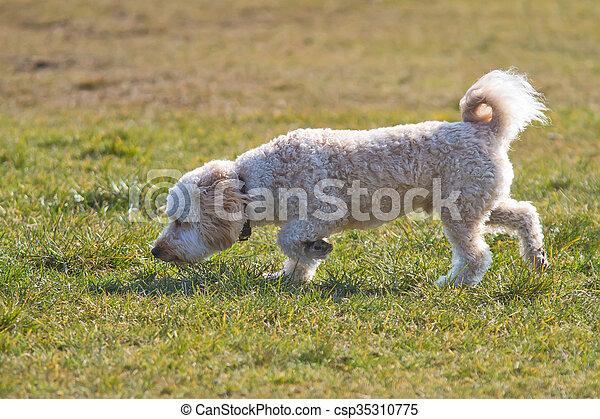 Cavapoo puppy sniffing. - csp35310775