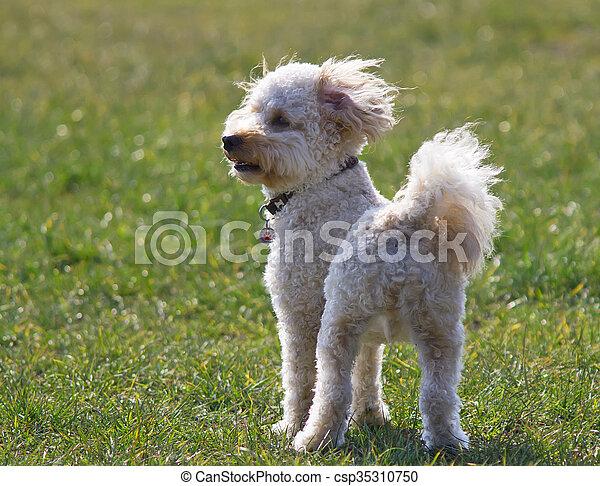 Cavapoo puppy - csp35310750