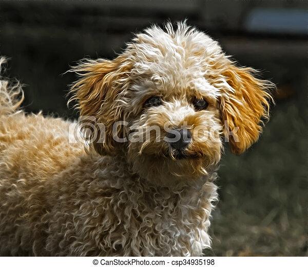 Cavapoo puppy - csp34935198