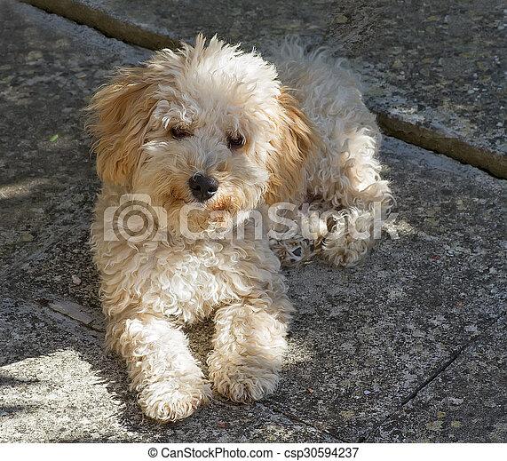 Cavapoo puppy - csp30594237