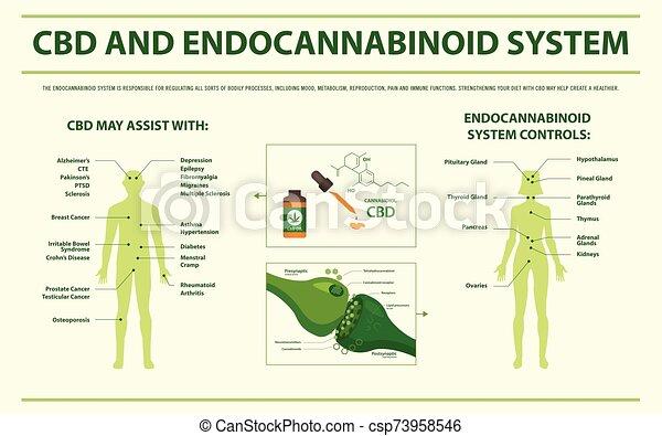 CBD and Endocannabinoid System horizontal infographic - csp73958546