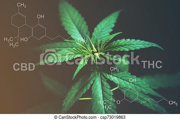cbd, folhas, marijuana, químico, thc, estrutura - csp73019863