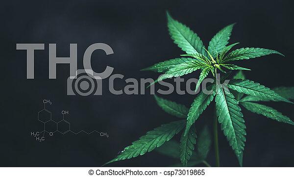 cbd, folhas, marijuana, químico, thc, estrutura - csp73019865