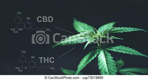 cbd, folhas, marijuana, químico, thc, estrutura - csp73019869