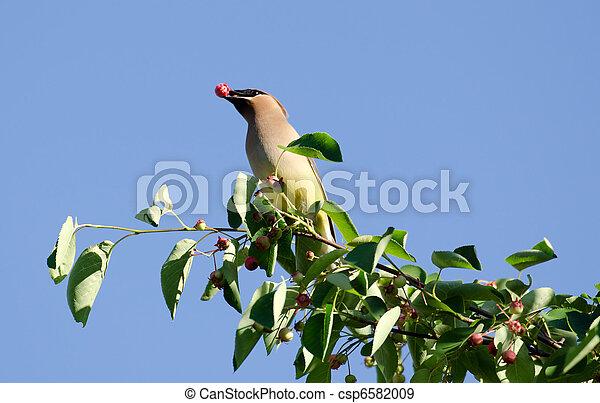 Cedar waxwing eating berry - csp6582009