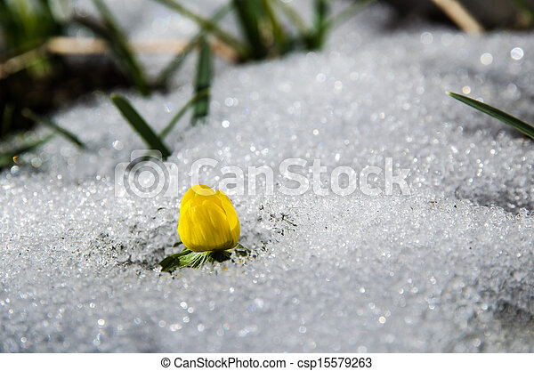 cedo, flor, amarela - csp15579263