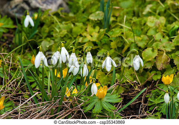 cedo, flores mola, jardim - csp35343869