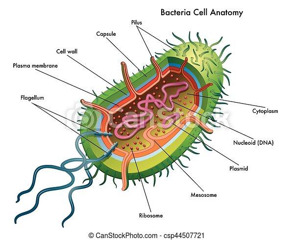 cel  anatomie  bacterie anatomie  cel  medisch  bacterie elk clip art borders elk clipart images