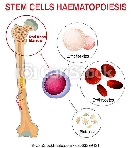 celas, haematopoiesis, sangue, caule - csp63299421