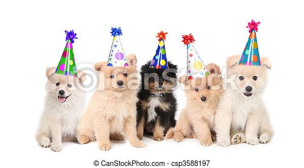 celebrando, aniversário, cinco, pomeranian, filhotes cachorro - csp3588197