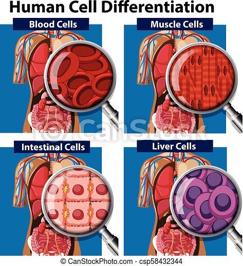 cell, differentiation, sätta, mänsklig - csp58432344