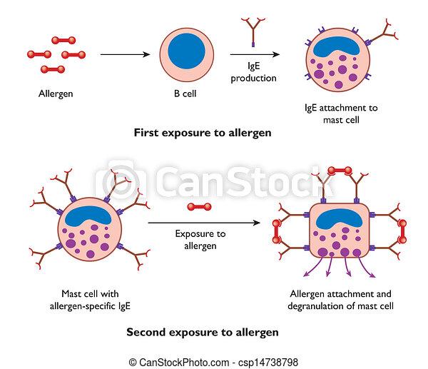 cell, handling, mast, allergi, under - csp14738798