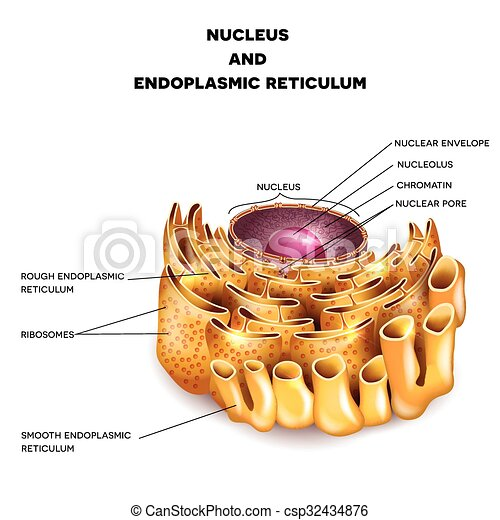 Cell nucleus and endoplasmic reticulum detailed anatomy with cell nucleus and endoplasmic reticulum csp32434876 ccuart Choice Image