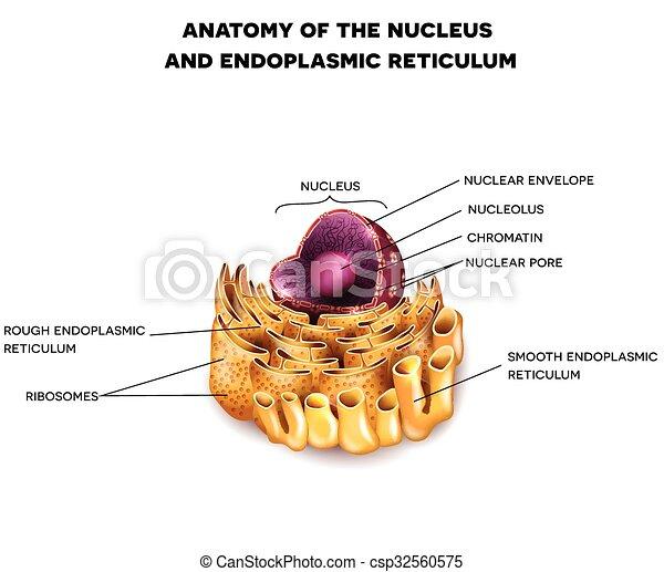 Cell nucleus and endoplasmic reticulum detailed anatomy with cell nucleus and endoplasmic reticulum csp32560575 ccuart Gallery
