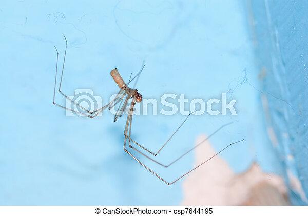 Cellar spider - csp7644195
