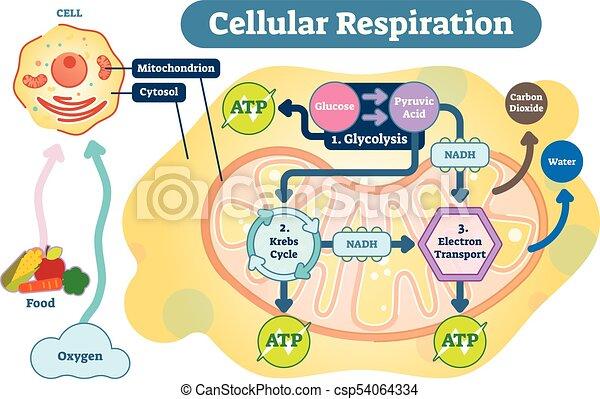 Cellular Respiration Medical Vector Illustration Diagram