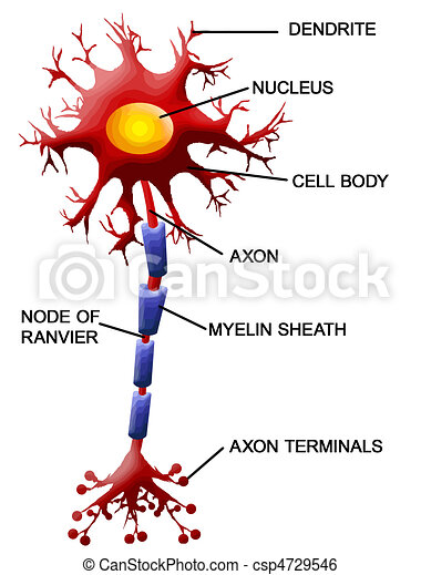 cellule, neurone - csp4729546