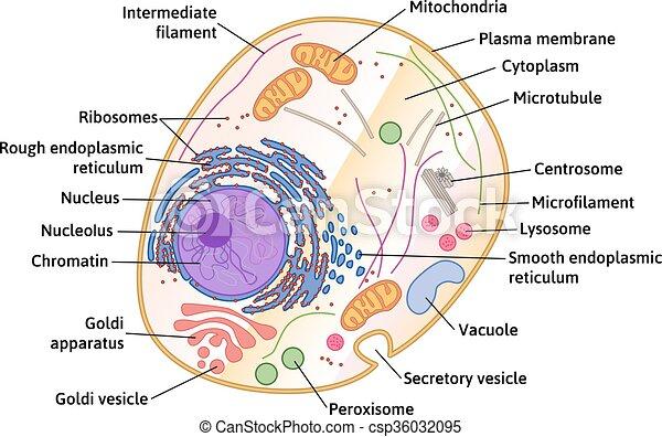Cellule Humaine cellule, vecteur, humain, structure. détaillé, cellule, structure