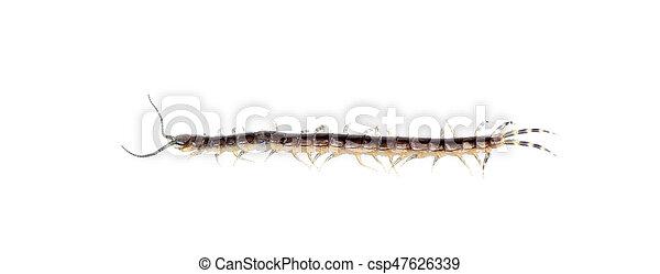 centipede on white background - csp47626339