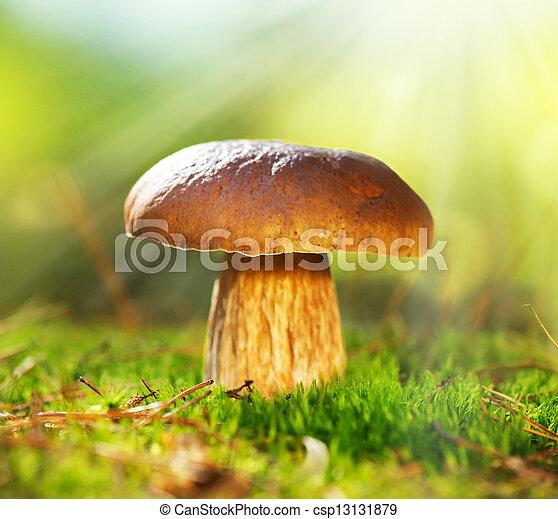 Cep Mushroom Growing in Autumn Forest. Boletus - csp13131879