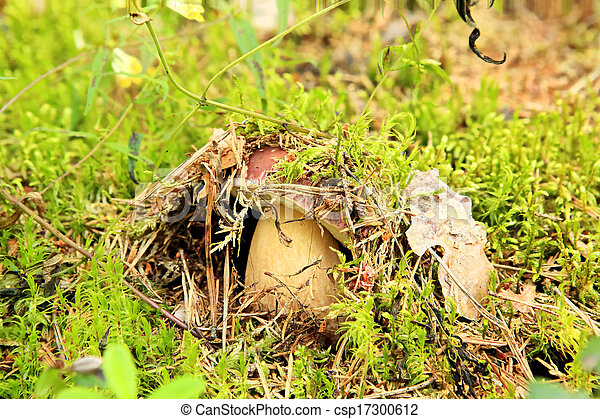 Cep on the background of moss in the forest (Boletus edulis) - csp17300612