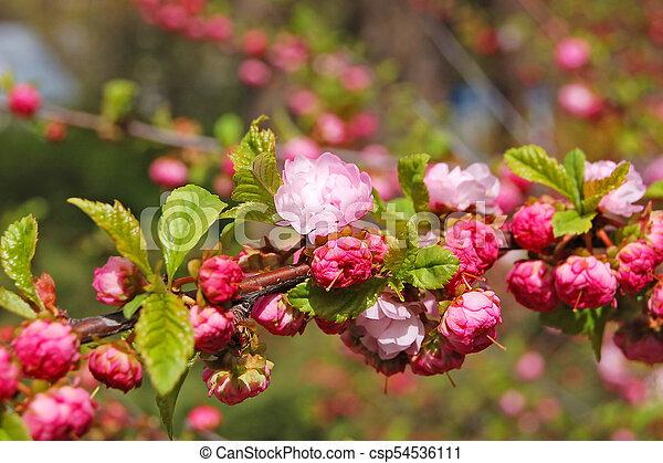 Blossoming Cerasus Serrulata Japanese Flowering Cherry Tree