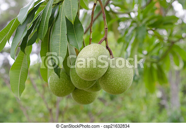Cerbera oddloam fruit on the tree - csp21632834