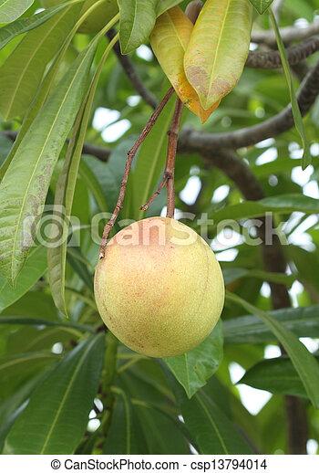 Cerbera oddloam fruit on tree - csp13794014