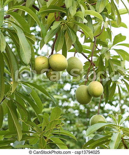 Cerbera oddloam fruit on tree - csp13794025