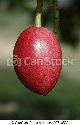 Cerbera oddloam fruit on tree - csp20713539
