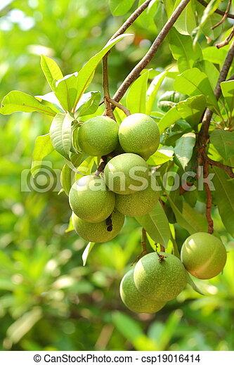 Cerbera oddloam fruit - csp19016414
