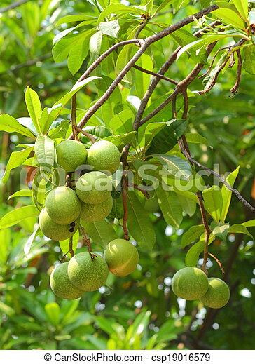 Cerbera oddloam fruit - csp19016579