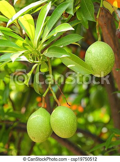 Cerbera oddloam fruit - csp19750512