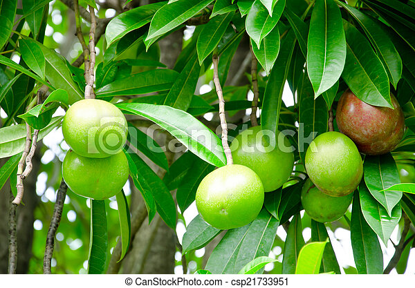 Cerbera oddloam fruit - csp21733951
