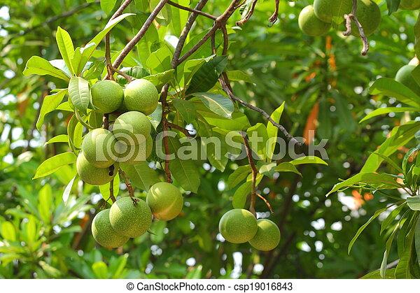 Cerbera oddloam fruit - csp19016843