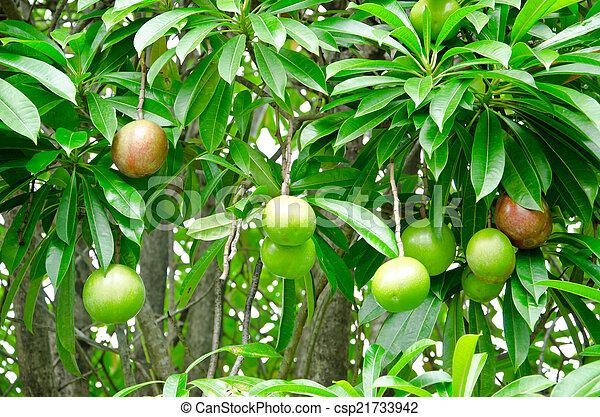 Cerbera oddloam fruit - csp21733942