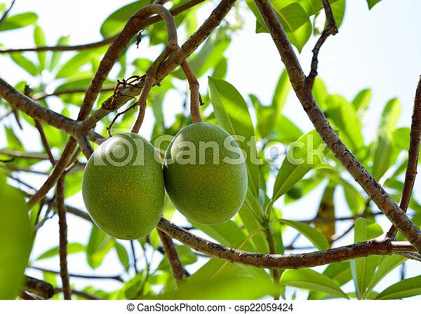 Cerbera oddloam gaertn fruit on tree - csp22059424