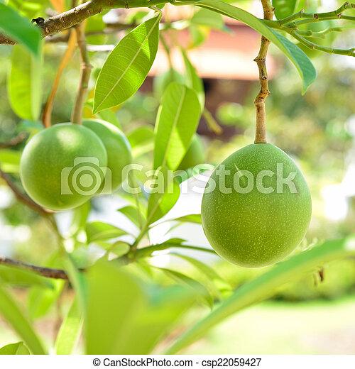 Cerbera oddloam gaertn fruit on tree - csp22059427