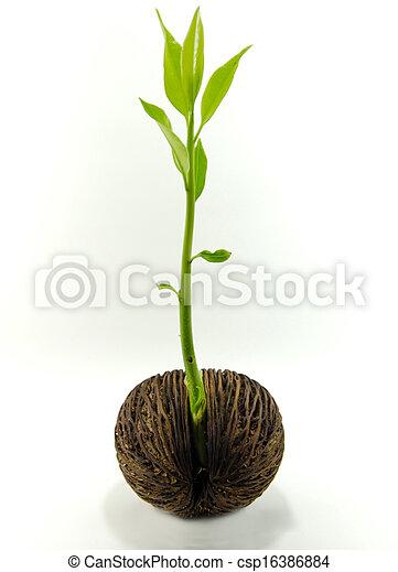 Cerbera odollam or Suicide tree fruit seed. - csp16386884